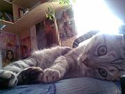 ищу кота для связки с кошкой