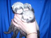 Продаются щенки домашнего хорька (фретки)