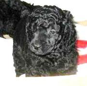 Щенки малого черного пуделя с родословной РКФ