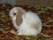 Продаю вислоухих крольчат